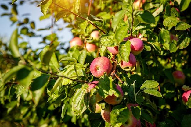 木の枝に赤いリンゴ。