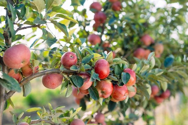 木の上の赤いリンゴ