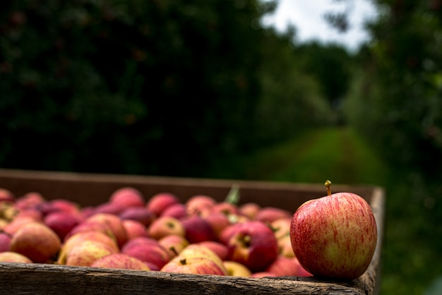 Red apples picked from the farm and selected in the box, ready to be sold. organic product.