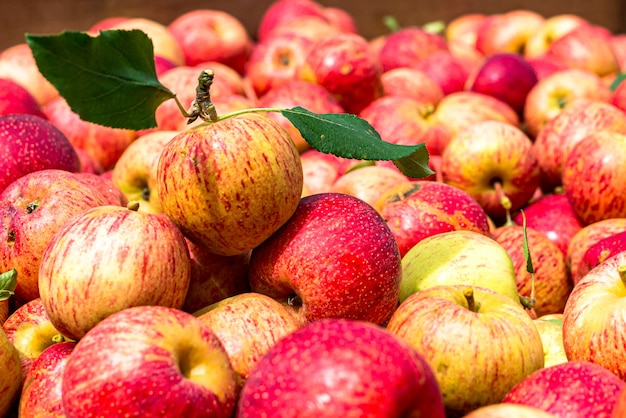 Красные яблоки, собранные на ферме, отобранные в коробке, готовы к продаже. органический продукт.
