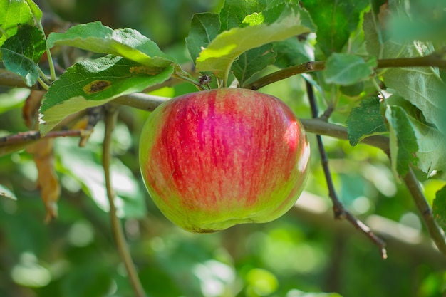 Red apples on a tree with green blurred garden as background. summer or autumn harvest concept