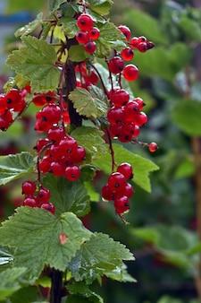 庭の赤い灰の果実