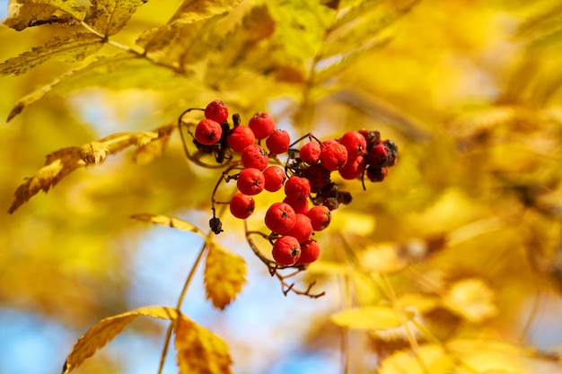 Red ashberry in the fall with yellow leaves at sunset. nature background.