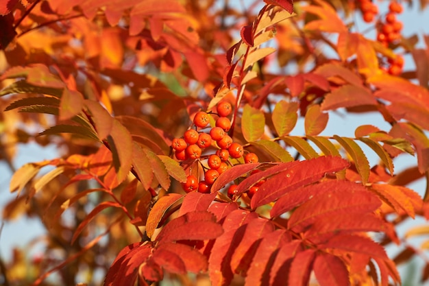Red ashberry in the fall with yellow leaves at sunset.
