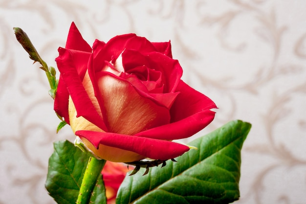 Red attractive rose in a room against wallpaper background