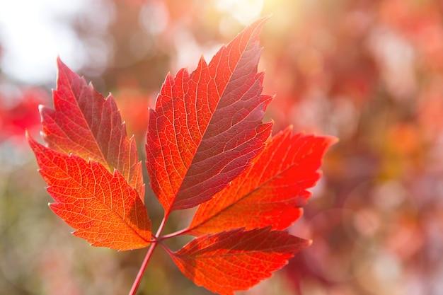 붉은가 포도 잎 클로즈업입니다. 밝은 계절, 가을 분위기