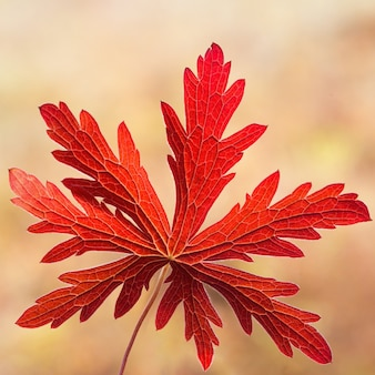 Red autumn leaf on blurred background, bright autumn colors