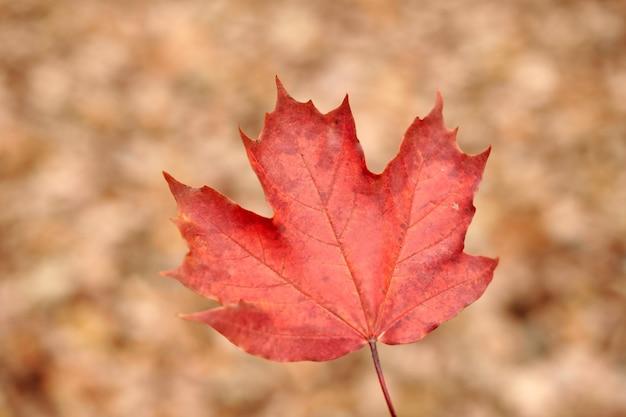 Красный осенний лист на фоне желтой листвы. красочная опавшая листва, символ изменения сезона. дизайн фона для сезонного использования.