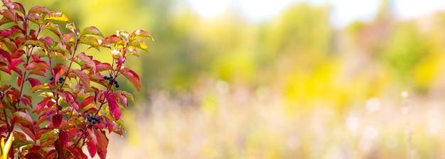 Красные осенние листья на размытом фоне с местом для текста. осенний фон, панорама