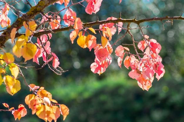明るい太陽の下で赤い紅葉が輝きます