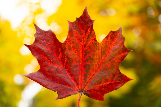 Red autumn maple leaf in hand on background of trees