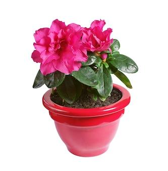 白い背景で隔離の植木鉢の赤いツツジの花