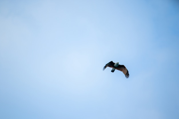 Red backed sea eagle flying in the sky