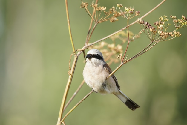 Red-backed shrike on the grass