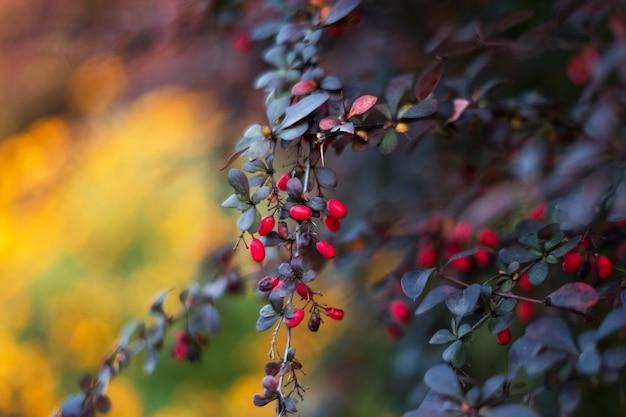 Красный барбарис на кусте в саду.