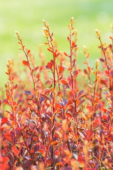 Red barberry branch in the botanical garden