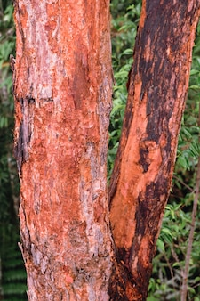 Red bark tree of syzygium gratum in the forest of hala-bala wildlife sanctuary , thailand.