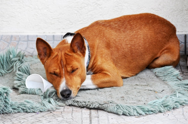 Красная собака басенджи спит на полу