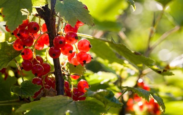 赤い美しいスグリの果実