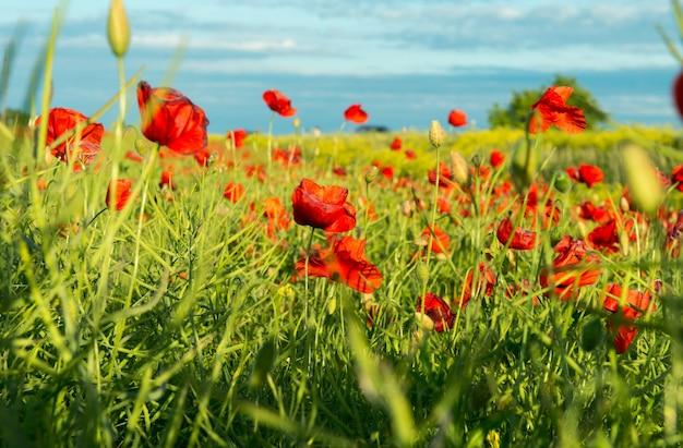 赤いポピーの赤い美しいフィールドサンセットライト素敵なポピー壁紙花素晴らしい夏の日