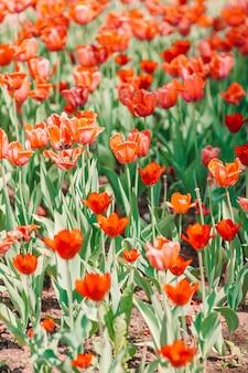 Красные красивые тюльпаны в саду или парке