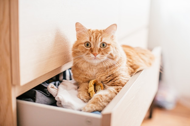 A red beautuful cat lies in a chest of drawers on clothes at home and looks at the camera