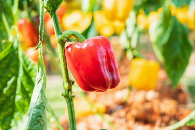 有機性庭で育つ赤ピーマン植物