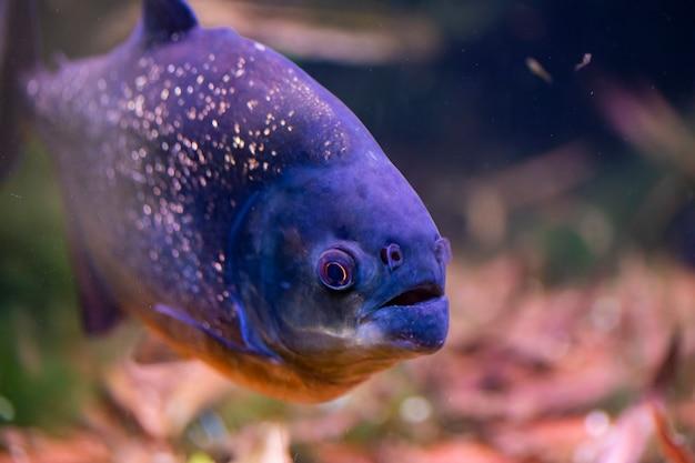 Red bellied piranha