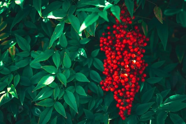 붉은 열매와 녹색 잎 식물학 및 녹색 배경 보색