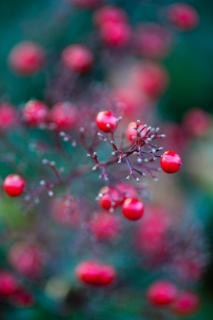 赤い果実のベリーベリー