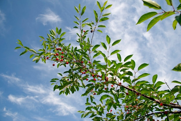 Red berries of  cherry on a branch on the background of blue sky