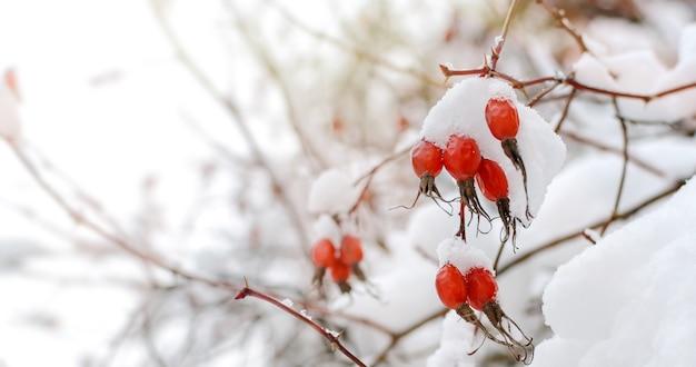 Красные ягоды, покрытые снегом в зимнем лесу