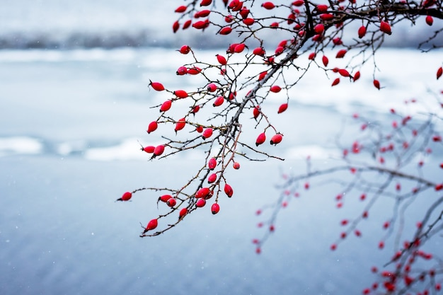 Red berries of dog-rose on the branches on the background of the river in winter