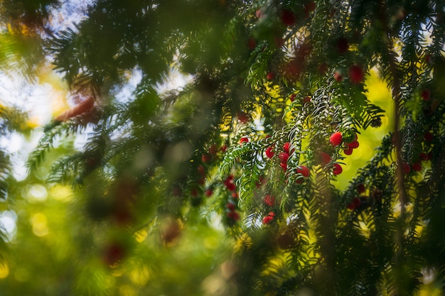 Red berries on a fir tree and blurry branches in the forest