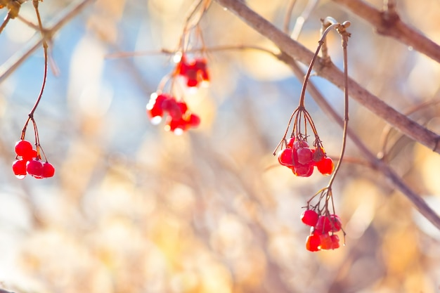 赤いベリーのゲルダーは、明るい天気の秋の朝に露の滴で上昇しました