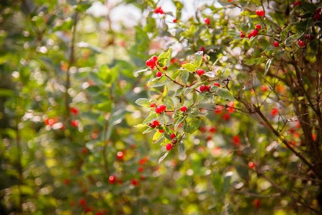 Красные ягоды в саду