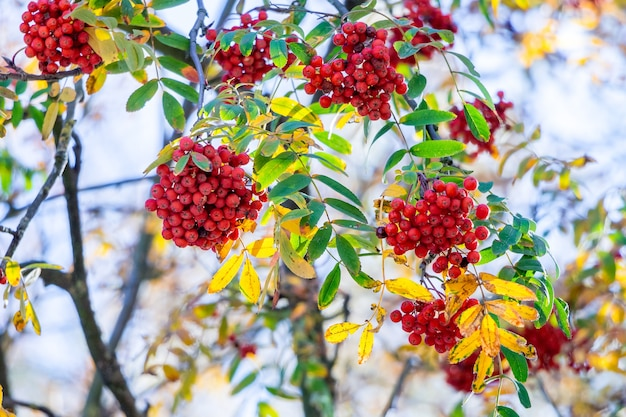 Red berries of mountain ash on a tree in sunny weather