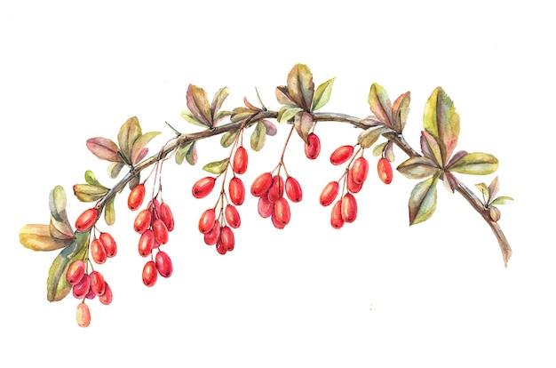 Красные ягоды барбариса на изолированном белом, акварельная иллюстрация, ручной рисунок
