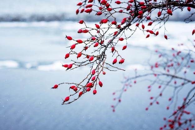 Красные ягоды шиповника на ветках на фоне реки зимой