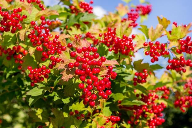 Guelder의 붉은 열매는 화창한 여름 day_에 부시에 상승