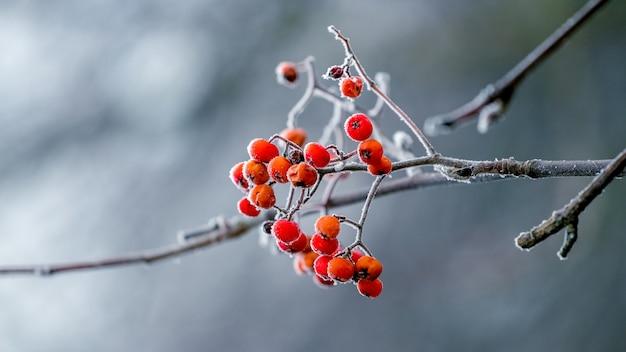 흐린 배경에 겨울에 산 화산재의 붉은 열매
