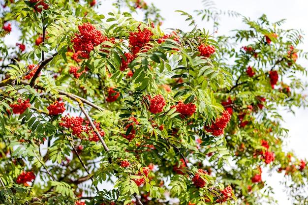 Красные ягоды рябины на дереве