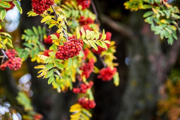 暗い木の幹の上の山の灰の赤い果実