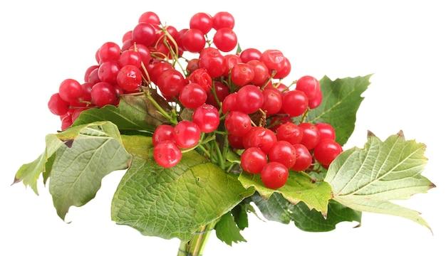 白で分離されたガマズミ属の木の赤い果実