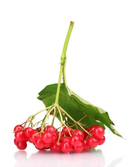 Красные ягоды калины с листьями, изолированными на белом