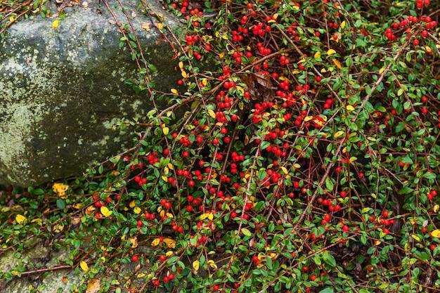 덤불에 빨간 열매 매자 나무 빨간 열매 가지에 빨간 매자 나무