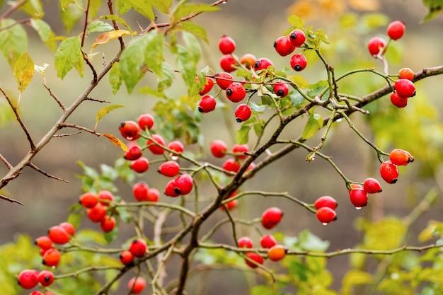 Красные ягоды на кустах роз в дождливую погоду