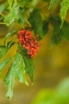 ナナカマドの雨の後の水のしずくと赤い果実
