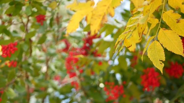 木の上の赤いベリー、米国カリフォルニア州のガーデニング。自然大気植物のクローズアップの背景。ガマズミ属の木、春または秋の朝の庭または森、ソフトフォーカスの新鮮な春または秋の植物