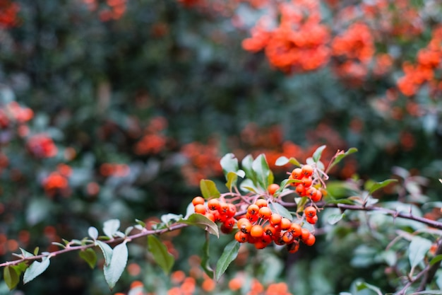 Red berries of pyracantha coccinea in autumn